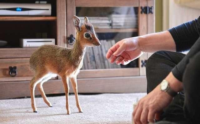 Miniantilope